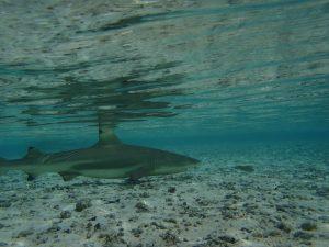 Unterwasserfoto Hai mit Tauchsport Braun